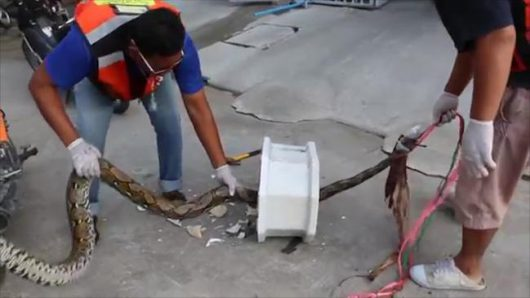 Tajlandia - Ogromny pyton zaatakował w toalecie, mężczyzna walczył pół godziny z przyssanym do penisa pytonem -3