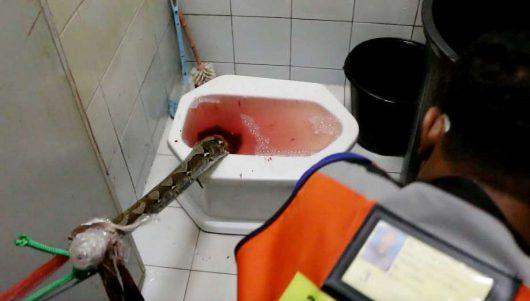Tajlandia - Ogromny pyton zaatakował w toalecie, mężczyzna walczył pół godziny z przyssanym do penisa pytonem -4