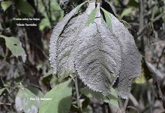 Turrialba - popiół z erupcji pokrył roślinność - zdjęcie J.Barquero