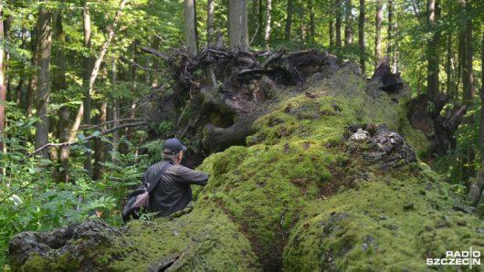 Bagicz, Polska - Wichury przewróciły najstarszego dęba szypułkowego w kraju -2