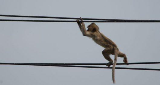 Gitaru Dam, Kenia - Mała małpka zrobiła zwarcie w elektrowni wodnej na 180 MW mocy -1