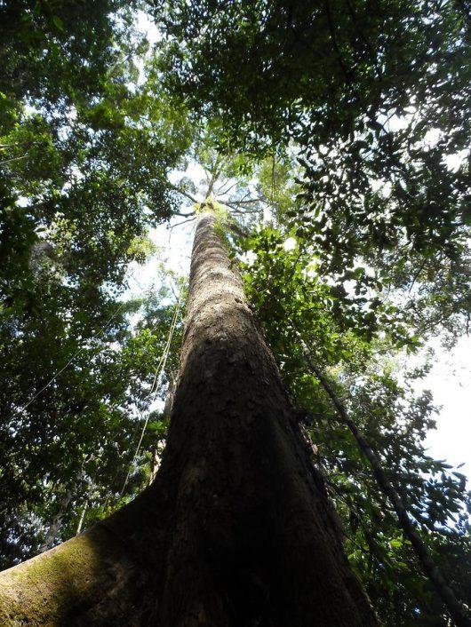 Malezja - Znaleziono najwyższe drzewo lasów tropikalnych, Shorea faguetiana ma 89.5 metra wysokości -2