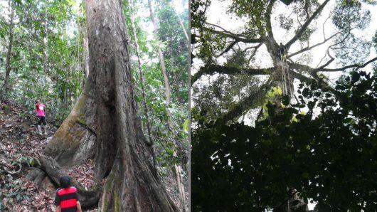 Malezja - Znaleziono najwyższe drzewo lasów tropikalnych, Shorea faguetiana ma 89.5 metra wysokości