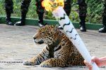 Manaus, Brazylia - Jaguar Juma brał udział w ceremonii zapalenia znicza olimpijskiego