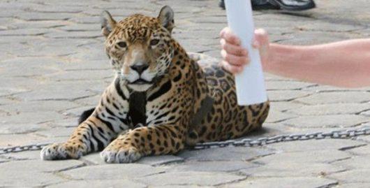 Manaus, Brazylia - Jaguar Juma brał udział w ceremonii zapalenia znicza olimpijskiego -3
