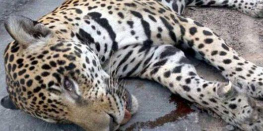Manaus, Brazylia - Jaguar Juma brał udział w ceremonii zapalenia znicza olimpijskiego -4