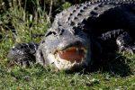 Orlando, USA - Obok Disneylandu aligator wciągnął do wody dwuletnie dziecko -3