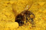Pszczoły zbierają pestycydy z pyłkiem roślin nieuprawnych