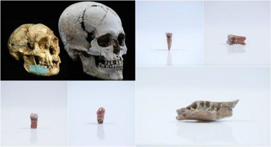 Czaszka 'hobbita z Flores' i czaszka współczesnego człowieka oraz zęby i żuchwa