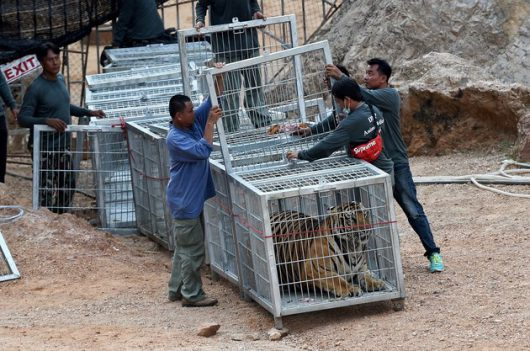 Thai wildlife officials use a tunnel of cages to capture a tiger and remove it from an enclosure at the Wat Pha Luang Ta Bua Tiger Temple in Kanchanaburi province, western Thailand on May 30, 2016. Thai wildlife officials armed with a court order on May 30 resumed the treacherous process of moving tigers from a controversial temple which draws tourists as a petting zoo, but stands accused of selling off the big cats for slaughter. / AFP / CHRISTOPHE ARCHAMBAULT (Photo credit should read CHRISTOPHE ARCHAMBAULT/AFP/Getty Images)
