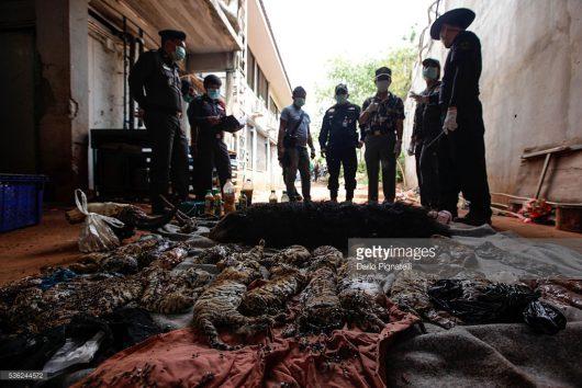 Tajlandia - W buddyjskiej świątyni w Kanchanaburi, która jest jedną z największych atrakcji turystycznych w kraju, znaleziono dziesiątki martwych młodych tygrysów -1