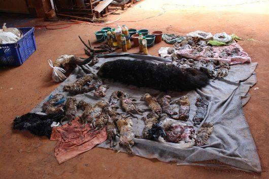 Tajlandia - W buddyjskiej świątyni w Kanchanaburi, która jest jedną z największych atrakcji turystycznych w kraju, znaleziono dziesiątki martwych młodych tygrysów -3