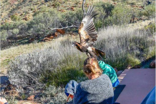 Alice Springs, Australia - Na pokazie dzikich ptaków orzeł chciał porwać 7-latka -1