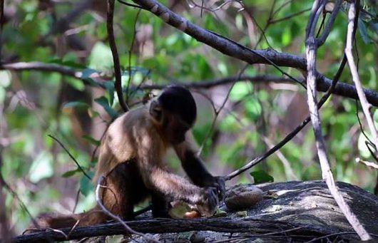 Brazylijskie kapucynki posługiwały się kamiennymi narzędziami od setek lat