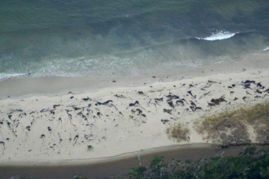 Chile - Około 70 martwych wielorybów odkryto na bezludnej wyspie -2