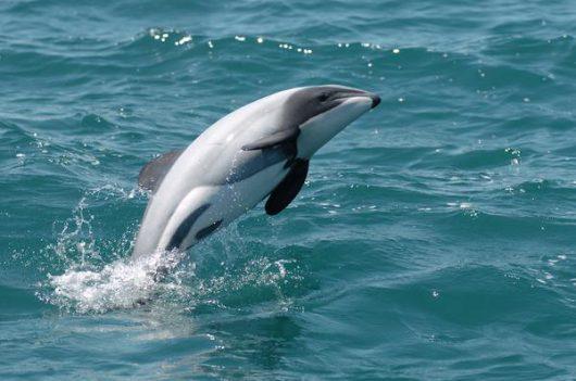 Delfin Maui -2