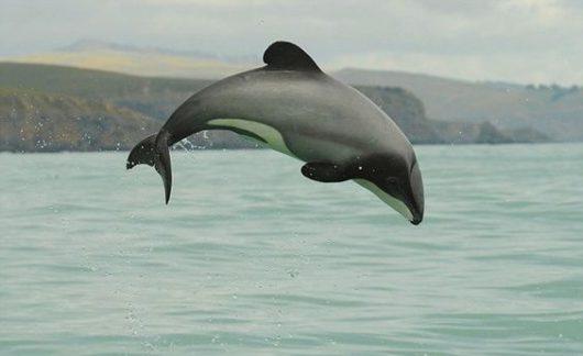 Delfin Maui