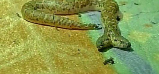 Indie - Dwugłowy wąż znaleziony w ZOO w Raipur Nandanvan -1