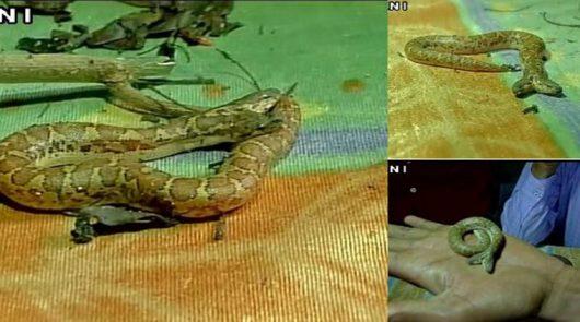 Indie - Dwugłowy wąż znaleziony w ZOO w Raipur Nandanvan -2