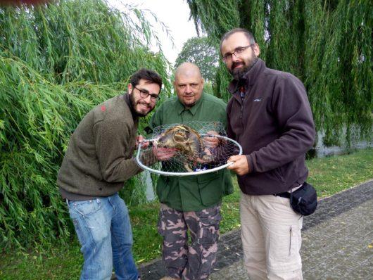 Kutno, Polska - Pierwszy raz złapano groźnego dla ludzi żółwia jaszczurowatego -2