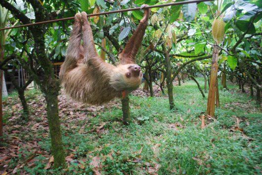 Leniwiec dwupalczasty na plantacji w Kostaryce /UW-Madison/Zach Peery /materiały prasowe
