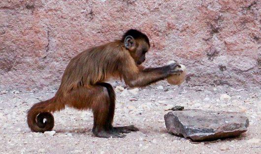 Małpy posługują się kamiennymi narzędziami od setek lat