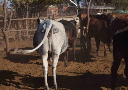 Malowanie oczu na zadach bydła ma zapobiegać atakom lwów 1