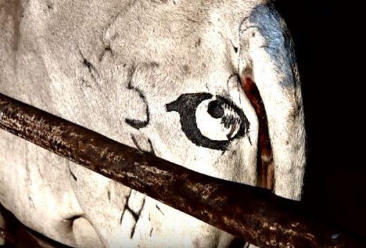 Malowanie oczu na zadach bydła ma zapobiegać atakom lwów 2