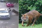 W zoo-safari w Pekinie tygrysy zabiły kobietę