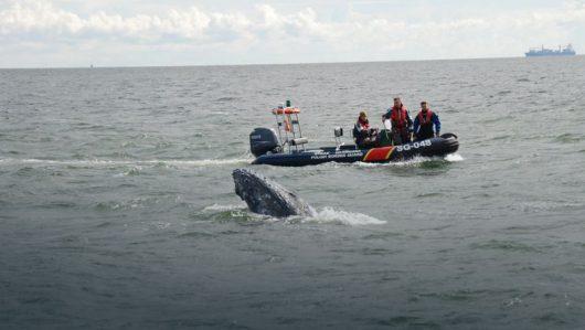 Wieloryb zaplątał się w sieci rybackie z Zatoce Gdańskiej
