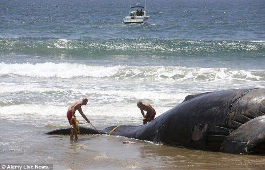 Wieloryb został wyrzucony na plażę w Kalifornii -1