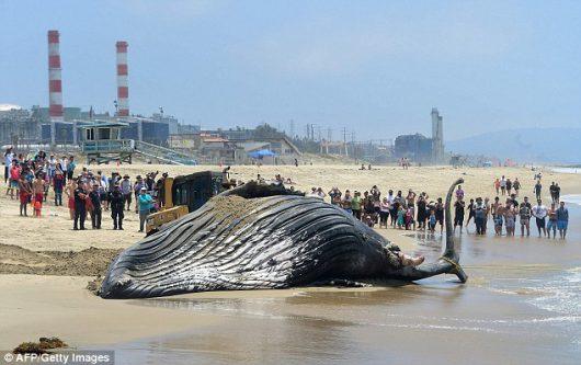 Wieloryb został wyrzucony na plażę w Kalifornii -2