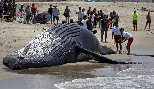 APTOPIX Dead Whale