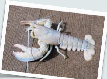 Biały homar