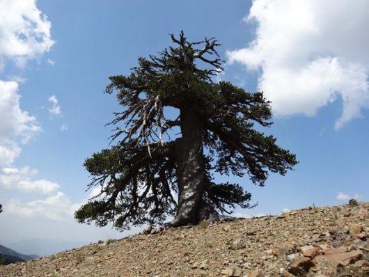 Najstarsze drzewo w Europie, jakie udało się odnaleźć ma ponad 1075 lat