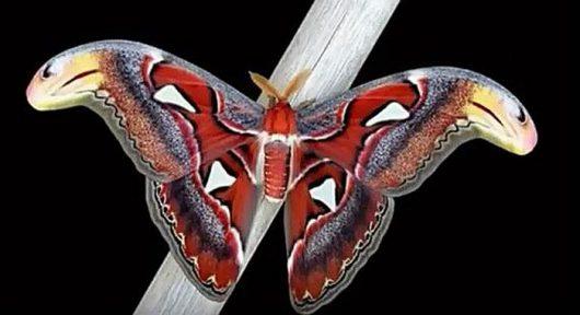Największa ćma na świecie posiada piękne skrzydła, które w górnej części przypominają głowę węża 1