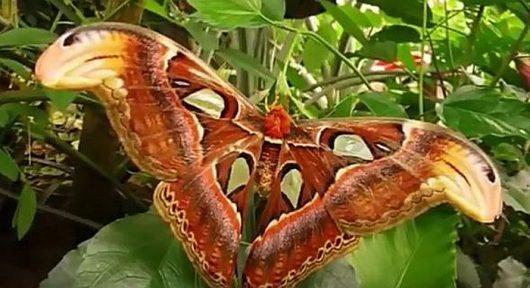Największa ćma na świecie posiada piękne skrzydła, które w górnej części przypominają głowę węża 2