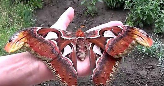 Największa ćma na świecie posiada piękne skrzydła, które w górnej części przypominają głowę węża 3