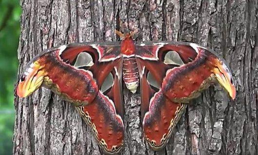 Największa ćma na świecie posiada piękne skrzydła, które w górnej części przypominają głowę węża 4