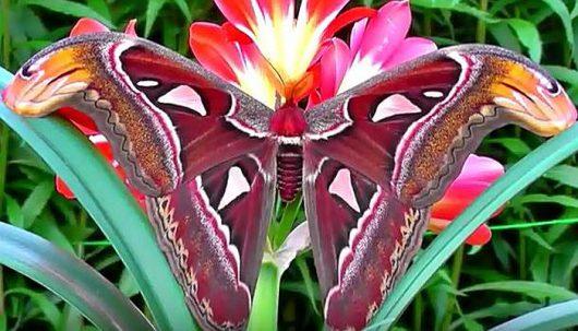 Największa ćma na świecie posiada piękne skrzydła, które w górnej części przypominają głowę węża 5