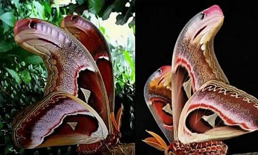 Największa ćma na świecie posiada piękne skrzydła, które w górnej części przypominają głowę węża