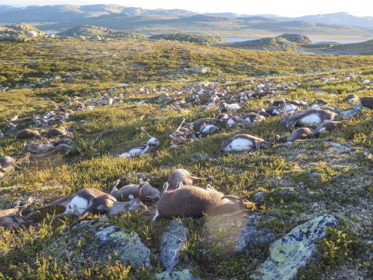 epa05513485 A handout picture provided by the Norwegian Environment Agency (Miljodirektoratet) shows more than 300 wild reindeer which were found dead on Hardangervidda, Norway, 28 August 2016. The animals apparently died after lightning struck the central mountain plateau. EPA/HAVARD KJOTVEDT/SNO/MILJODIREKTORATET NORWAY OUT. MANDATORY CREDIT: EPA/HAVARD KJOTVEDT/SNO/MILJODIREKTORATET HANDOUT EDITORIAL USE ONLY/NO SALES Dostawca: PAP/EPA.
