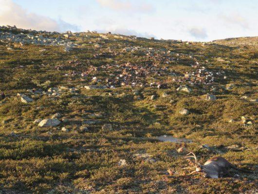 Norwegia - Pioruny zabiły 322 renifery na płaskowyżu Hardangervidda -2