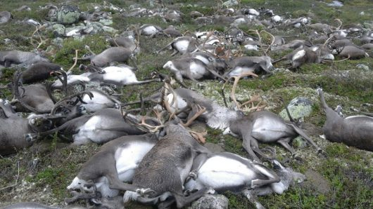 Norwegia - Pioruny zabiły 322 renifery na płaskowyżu Hardangervidda -3