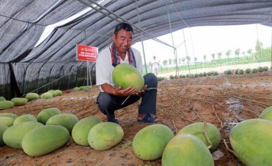 Pewna odmiana arbuza o nazwie Tianlong 1508 po trzech miesiącach dała plon składający się ze 131 arbuzów -1