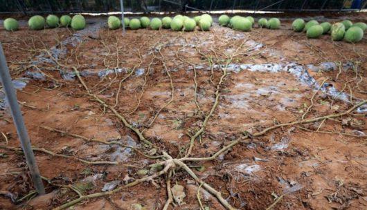 Pewna odmiana arbuza o nazwie Tianlong 1508 po trzech miesiącach dała plon składający się ze 131 arbuzów -2