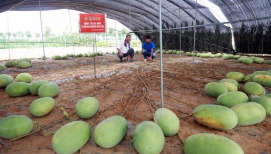 Pewna odmiana arbuza o nazwie Tianlong 1508 po trzech miesiącach dała plon składający się ze 131 arbuzów -3