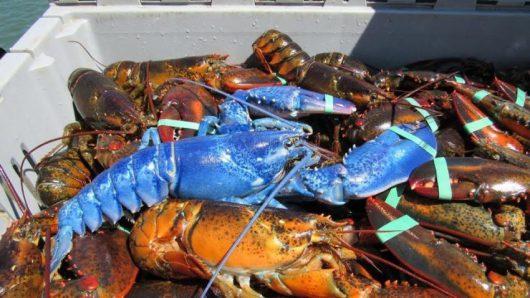 Plymouth, USA - Rybak z Massachusetts złowił niebieskiego fluorescencyjnego homara -2