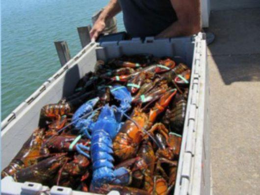 Plymouth, USA - Rybak z Massachusetts złowił niebieskiego fluorescencyjnego homara -5