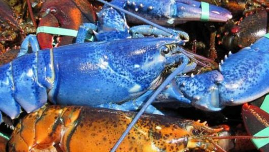 Plymouth, USA - Rybak z Massachusetts złowił niebieskiego fluorescencyjnego homara